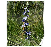 Thelymitra Sun Orchid Poster
