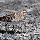 Sharp-tailed Sandpiper by DanielTMiller