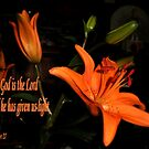 Single Orange Lily by judygal