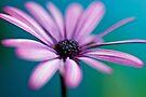 Violet Daisy by Renee Hubbard Fine Art Photography