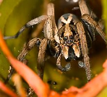 Garden Wolf Spider by Shelley Warbrooke