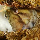 Bashful Blenny by MattTworkowski