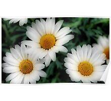 white daisies Poster