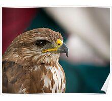 Saker Falcon profile view Poster