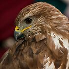 Falcon with profile pose by sanyi