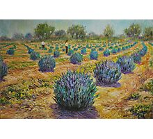 Study for Lavender Farm Photographic Print