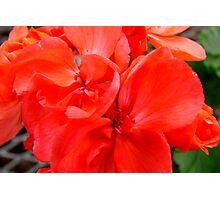 Peach Geranium Photographic Print