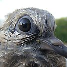 Young Dove by PDWright