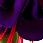 Purple Velvet by Tricia Stucenski