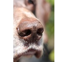 wet pointer nose Photographic Print