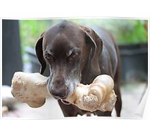 German Shorthaired Pointer with giant bone Poster