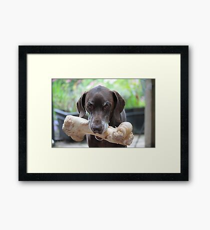 German Shorthaired Pointer with giant bone Framed Print