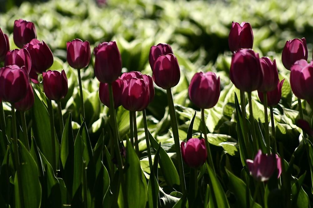 Purple Tulips by djnoel