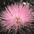 Pink burst, Queensland by Alex Bonner