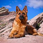 German Shepherd by gsddame