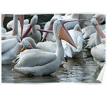 Yawning Pelican Poster