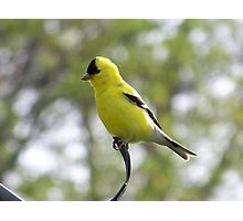 A male goldfinch. Photographic Print