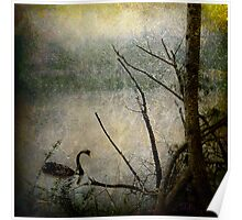 Swan on Nepean River Poster