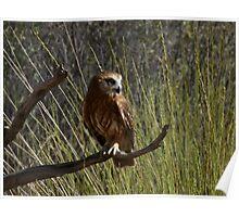 Nixone Boobook Owl Poster