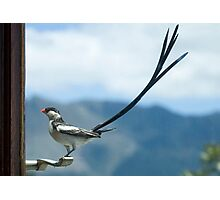 Pin Tailed Whydah Photographic Print