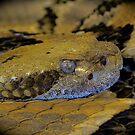 timber rattle snake by mamba