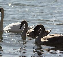 Mute Swan Mother with Babies by Johnny Furlotte