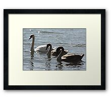 Mute Swan Mother with Babies Framed Print