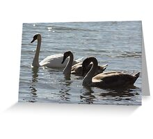 Mute Swan Mother with Babies Greeting Card