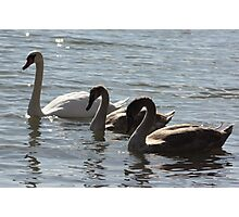 Mute Swan Mother with Babies Photographic Print