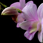 Orchids by MiImages