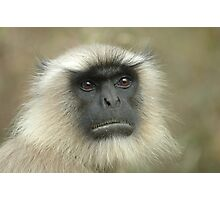 Langur monkey Photographic Print