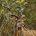 greater kudu by mamba