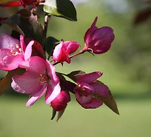 Apple Blossoms by Lisa  Lukan