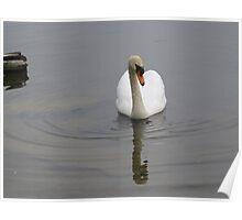 Reflection Swan Poster