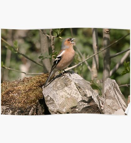A Chaffinch Sings Poster