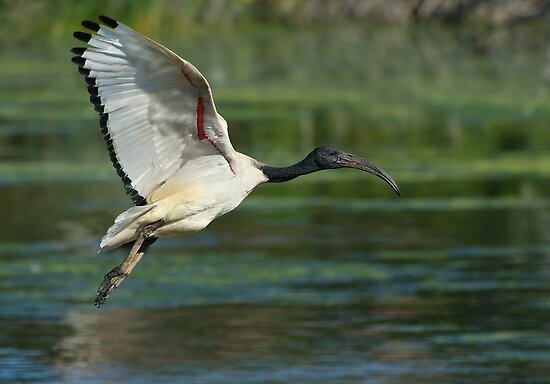 Sacred Ibis by Macky