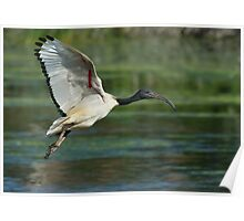 Sacred Ibis Poster