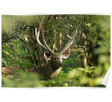Sambar Deer Stag Poster