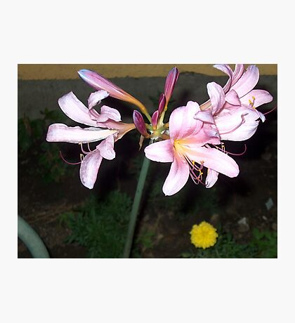 Naked Lady Lillies Photographic Print