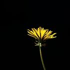 Portrait of a Dandelion by Sam Mortimer