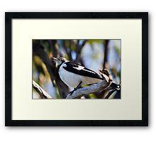 Australian Magpie-Lark perching Framed Print