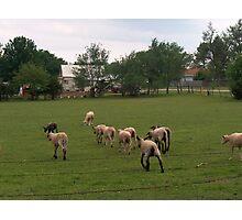 Not Kansas Cattle Photographic Print