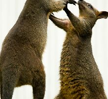 Fighting Wallabies by PurelyPrime
