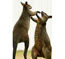 Fighting Wallabies Photographic Print