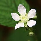 White Delicacy-flower of blackberry vine by Rhonda F.  Taylor