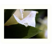 Pearls on a White Petal Art Print