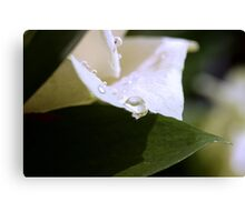 Pearls on a White Petal Canvas Print