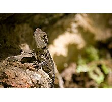 Baby Australian Easter Waterdragon Photographic Print