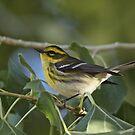 Townsend's Warbler by tomryan