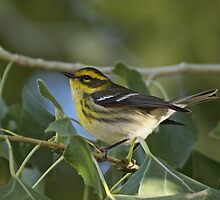 Townsend's Warbler by tomryan